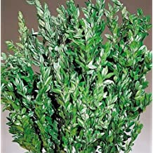 Dried Boxwood - Naturally Preserved Dyed Green Large 5 oz, 10-11in. Long 4-5in. wide -- Single Bunch