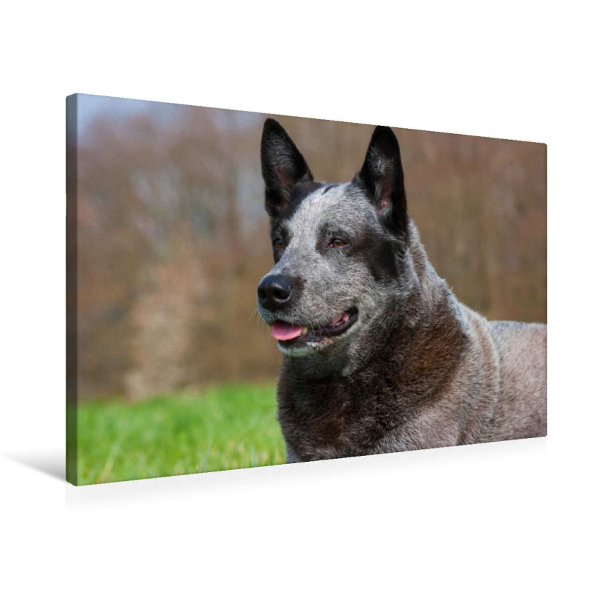 75x50 Premium Textile Canvas 75 x 50 cm Landscape Australian Cattle Dog Portrait of an Imposing Male