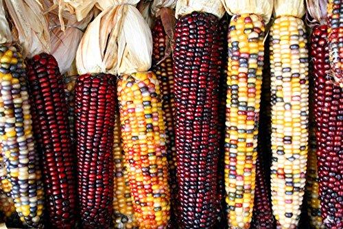 Indian Corn - 1