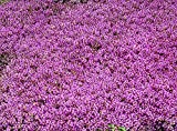 Creeping Thyme (2000 thru 5LB seeds) Rock Cress Flower Herb Garden #24 (1.6 Million seeds, or 1/2 LB)