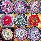 ASTONISH Seeds Package: 16-Sinocrassula Indica: 100P Variety Succulent Seeds Lithops Lig Stones Plants Cactus Exotic Plant