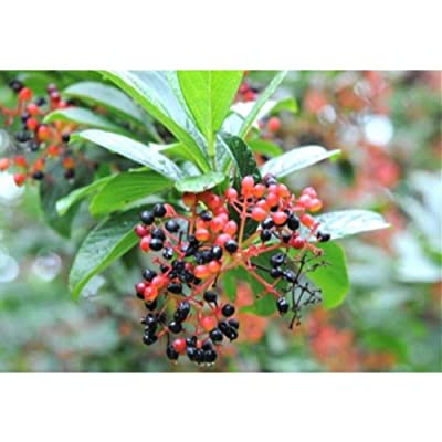 20 Siebold Viburnum Seeds #RDR02 : Garden & Outdoor