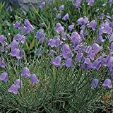 "CAMPANULA ROTUNDIFOLIA ""HAREBELL-Bluebell of Scotland"" 25-Perennial seeds"