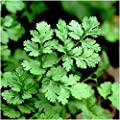 Coriander Leisure (Long Standing) Seeds- Tender leaves are delicious in SALSA!!!