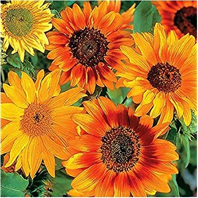 Humany flowerseeds- 50pcs Sunflower Seeds Colorful Flower Seeds Magic Sunflower Blend Ornamental Plants for Fence Walls : Garden & Outdoor
