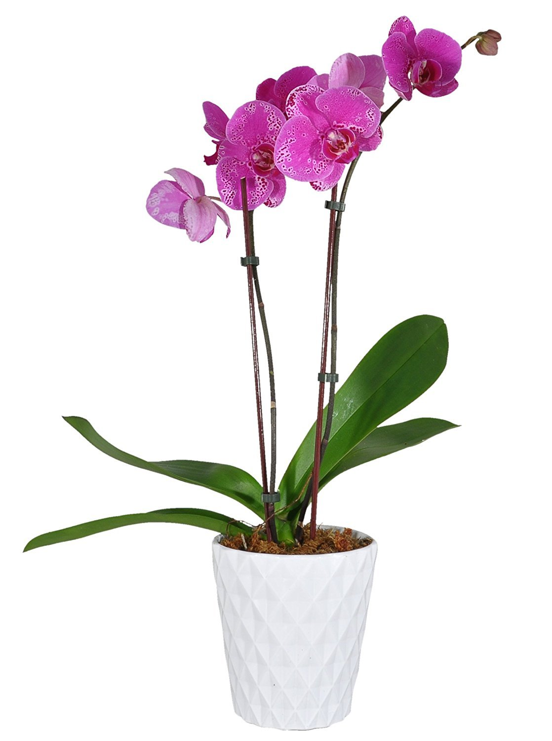 Costa Farms Live Phalaenopsis Orchid, 27-Inch Tall, Double Stem Pink-Purple Blooms, in 5-Inch Décor-Ready White Color Ceramic, Great Gift by Costa Farms