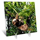 3dRose dc_86913_1 Panama, Panama City, Three-Toed Sloth Wildlife SA15 CZI0561 Christian Ziegler Desk Clock, 6 by 6''