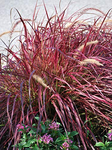 Perennial Farm Marketplace Pennisetum adv. 'Fireworks' ((Variegated Purple Fountain) Ornamental Grass, Size-#1 Container, Reddish-Burgundy Leaves