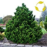 HINOKI Cypress Chamaecyparis Obtusa 30,50 Seeds