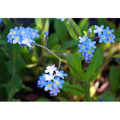 "Chinese Forget-Me-Not Flower Seeds, 300+ Premium Heirloom Seeds, ""Cynoglossum Amabile"", (Isla's Garden Seeds), Highest Quality Seed : Garden & Outdoor"