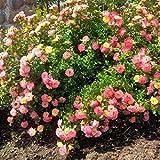 Peach Drift Groundcover Rose - Quart Pot