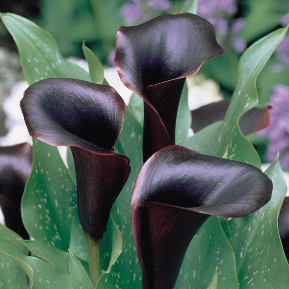 5 Black Star Calla Lily Bulbs