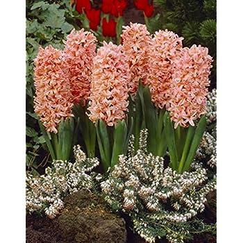 Van Zyverden Hyacinths Easter Basket Blend Set of 12 Bulbs