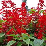 Scarlet Red Sage Seeds 30+ Salvia coccinea Tropical Sage, Blood Sage, Texas Sage, Salvia Coccinea - Wildflower Seeds