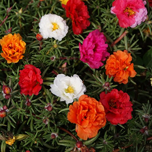 Outsidepride Moss Rose Plant Seed Mix - 5000 Seeds