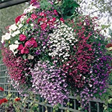 """LOBELIA ~Mixed Colors~ """"Lobelia Pendula-Trailing Lobelia"""" 25+ Annual Seeds20"""