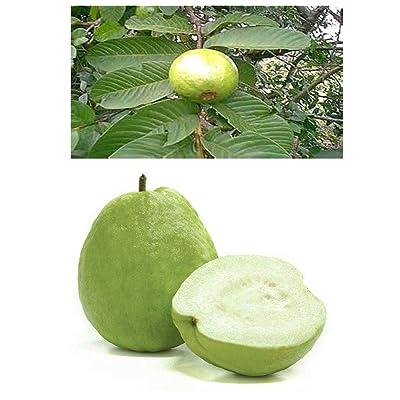 5 Thai White Guava Plant Seeds Tropical Fruit Guajava Seeds Bonsai Guava Tree Plant : Garden & Outdoor