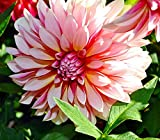 Caribbean Fantasy Dahlia - 2 Bulb Clumps - Creamy White & Red