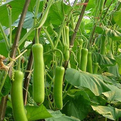 30Pcs Chinese Thai Med-Long Edible Bottle Gourd Seeds Asian Indian Opo Squash Kodu : Garden & Outdoor