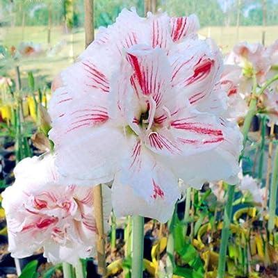 Wintefei 2 Pcs Amaryllis Bulbs Hippeastrum Seeds Home Balcony Garden Decor Flower Plants -Blood Red : Garden & Outdoor