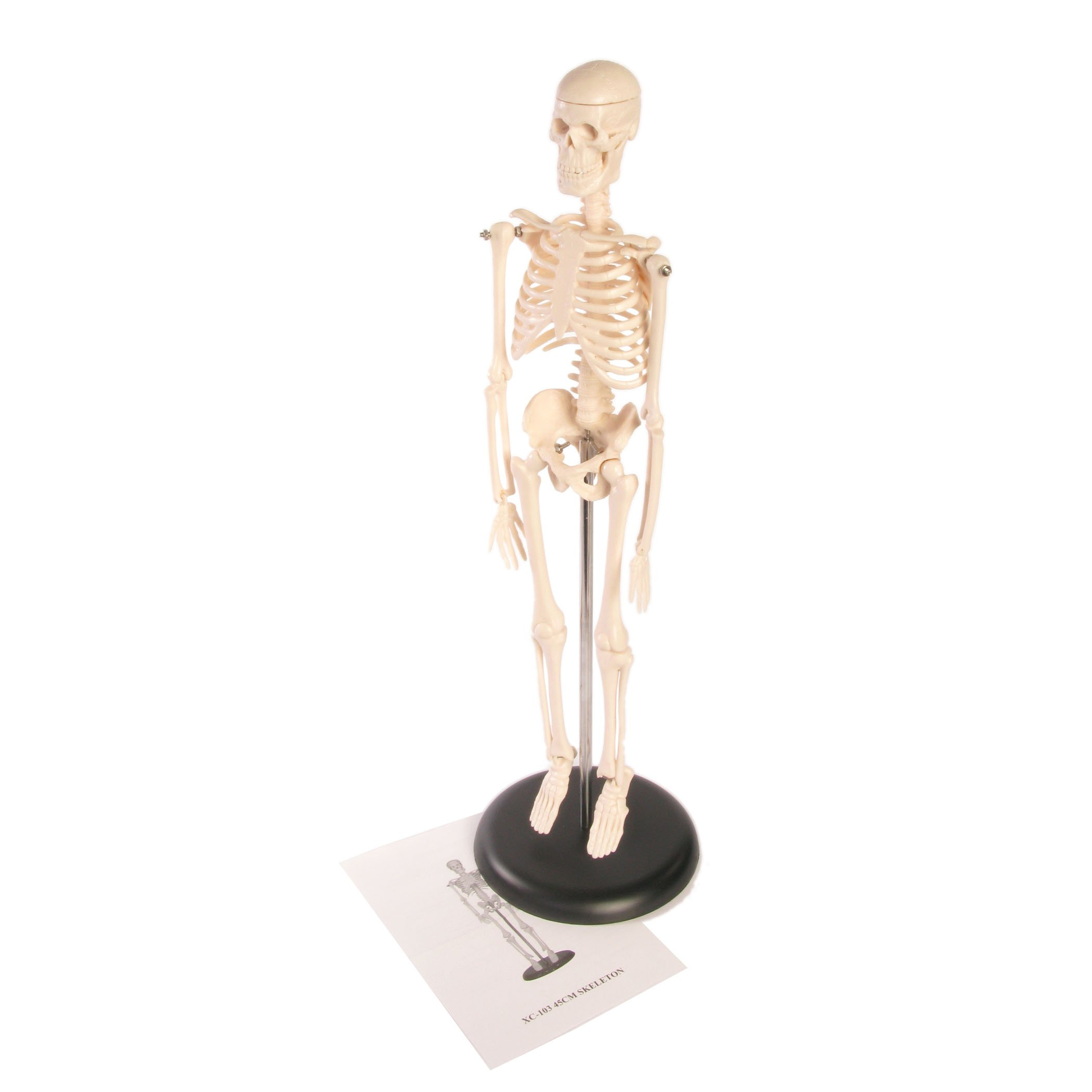 Ginsberg Skeleton Model, 17 Inches
