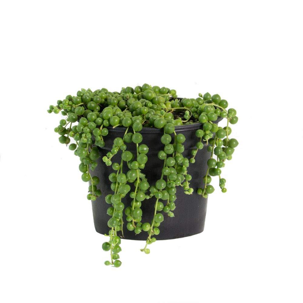 AMERICAN PLANT EXCHANGE String of Pearls Easy Care Succulent Live Plant, 6'' Pot, Unique Beauty!