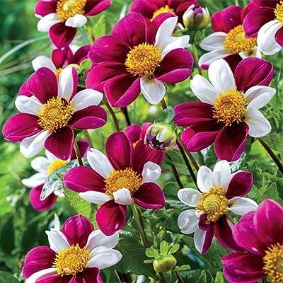 Twyning's Smartie Dahlia Bulbs - 2 Dahlia Tubers : Garden & Outdoor