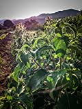 Holy Basil Tulsi Seed Collection: Vana, Rama, and Krishna Tulsi Seed (three packets/~200 seeds each packet) by All Good Things Organic Seeds: Certified Organic, Non-GMO Seeds from the United States