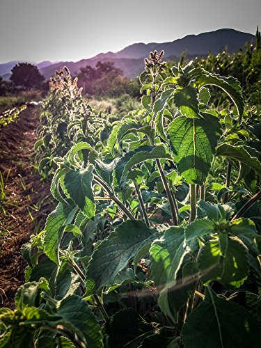 Holy Basil Tulsi Seed Collection: Vana, Rama, and Krishna Tulsi Seed (three packets/~200 seeds each packet) by All Good Things Organic Seeds: Certified Organic, Non-GMO Seeds from the United States by All Good Things Organic Seeds (Image #3)