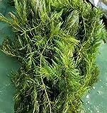 Hornwort Pond Plant 5 pounds