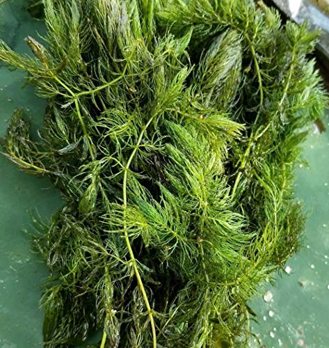 Hornwort Pond Plant 5 pounds by MW145 (Image #1)