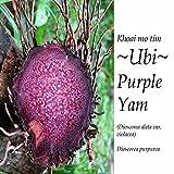 ~UBI~ PURPLE YAM PLANT Edible TUBER Dioscorea Alata Live sml potted Starter Vine