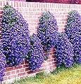 100-Seeds Rock Cress Bright Blue Perennial Flowering Groundcover Seeds