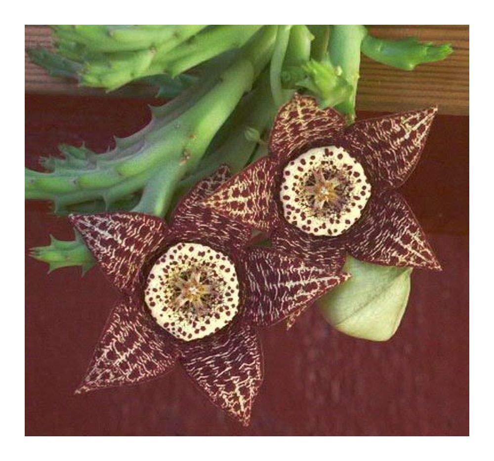 Orbea variegata - toad cactus - starfish plant - 5 seeds Exotic Plants