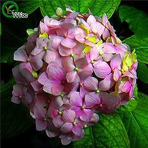 Las semillas de color rojo Hydrangea mixto de flores de Hortensia Inicio planta de Bonsai Viburnum 30pcs H022