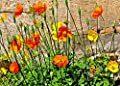 Welsh Poppy, 103 Seeds, Yellow And Orange Flowers Blooms In Shade