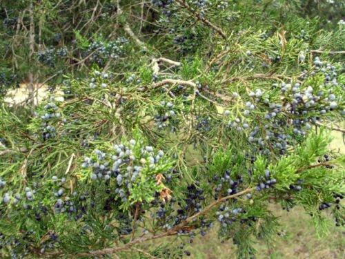 40 EASTERN RED CEDAR TREE SEEDS - Juniperus virginiana