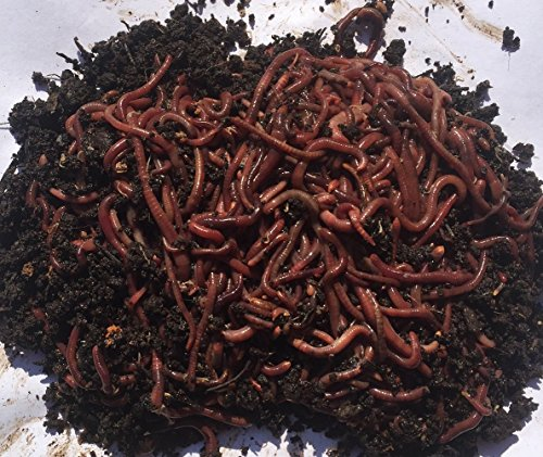 1 000  red worms  red wigglers  compost earthworms  organic  sustainably raised