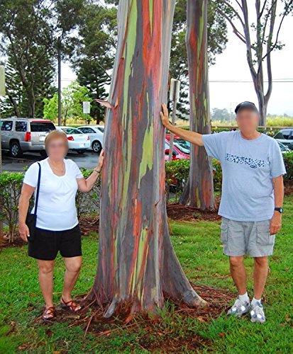 RAINBOW EUCALYPTUS LIVE TREE Eucalyptus deglupta Sapling Colorful Bark by Exotica Tropicals