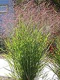 1000 SWITCHGRASS Tall Panic Switch Grass Panicum Virgatum Red Flower Seeds