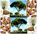 5 x ITALIAN STONE PINE Tree Seed Seeds - Pinus pinea - EDIBLE PINE NUTS - Umbrella Pine - Zone 7 - 11 - By MySeeds.Co