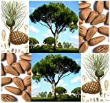 5 x Italian Stone Pine Seed - Pinus pinea Tree Seeds - Edible Pine Nuts - AKA Umbrella Pine - Zone 7-11 - by MySeeds.Co