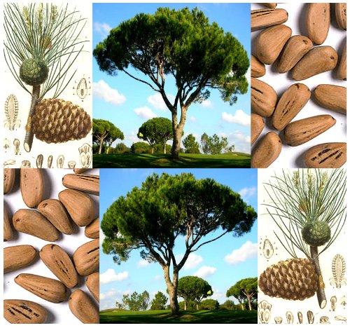 5-x-italian-stone-pine-tree-seed-seeds-pinus-pinea-edible-pine-nuts-umbrella-pine-zone-7-11-by-mysee