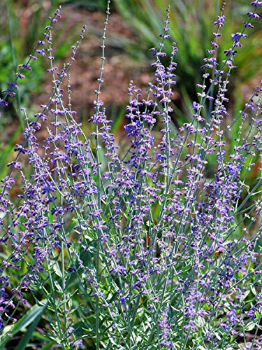 Perennial Farm Marketplace Perovskia a. 'Little Spire' ((Dwarf Russian Sage) Perennial, Size-#1 Container', Light Blue -