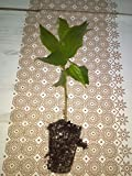 Jamaican Cherry aka Strawberry Tree Muntingia calabura 1 rooted cutting