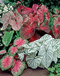 Van Zyverden Caladiums- Fancy Leaf Mixed - Set Of 12 Bulbs