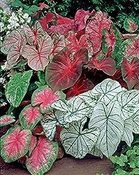 Van Zyverden Caladiums- Fancy Leaf Mixed - Set Of 12 Bulbs