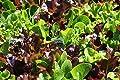 Lettuce Heirloom GOURMET BLEND 10 Varieties BULK 12000 SEEDS (1/2oz) MicroGreens