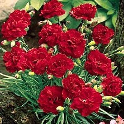 CARNATION 'Giant Red King~Dianthus Caryophyllus~ Perennial Seeds