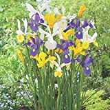 Dutch Iris Mix - 30 Bulbs